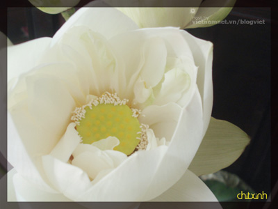 Blog Radio 41: Trái tim sen trắng