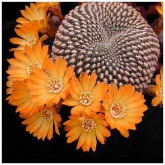 Xương rồng nở hoa ( Thì thầm 214 )