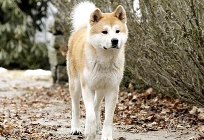 Chú chó Sultan trung thành