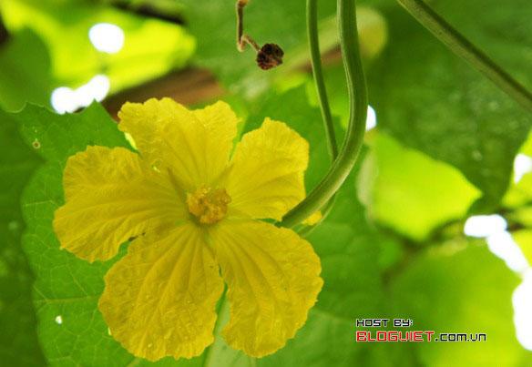 Hoa mướp cuối mùa