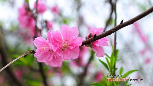 mùa xuân, hoa đào, tháng giêng