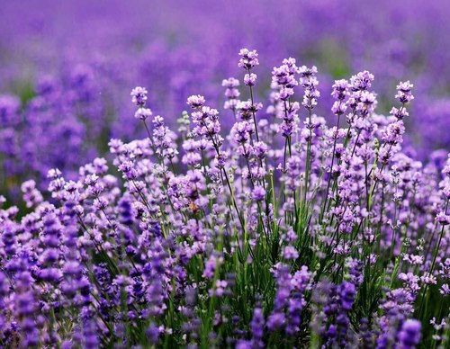 Ký ức thơm mùi hương thảo (Phần 1)