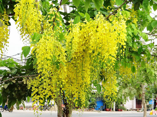 Ký ức mùa hoa bọ cạp vàng (Thì thầm 432)
