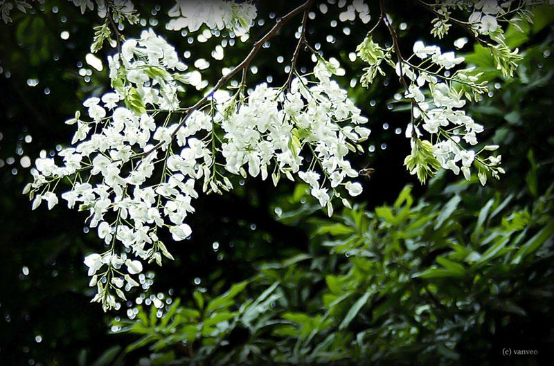Chuyện tháng 3 chuyện hoa sưa trắng