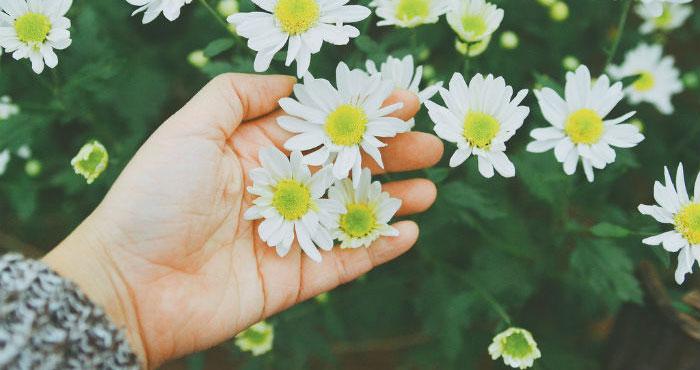 Blog Radio 518: Mùa cúc họa mi này lòng em đã bình yên