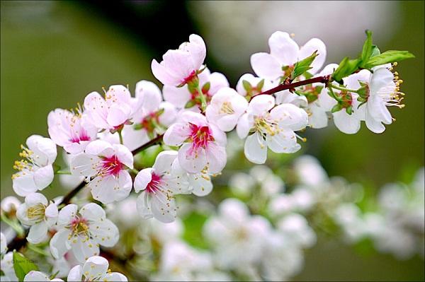 Xuân mơ vạn sắc hoa đào