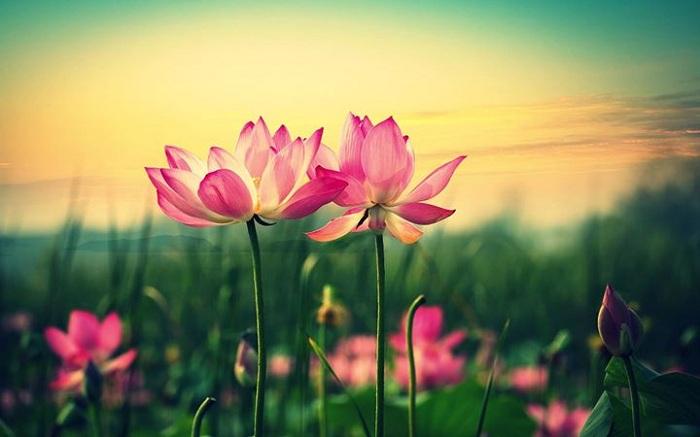 Hoa sen với những phẩm chất cao quý