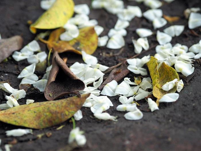Chùm ảnh: Tháng 3, sưa nở trắng trời Hà Nội